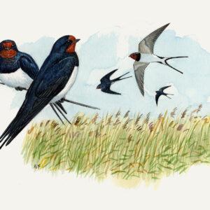 Ladusvalor är en av den art vi kan se under fågelskådningen. Illustration.