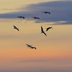 Under trankvällen kan du får se stora flockar med tranor som flyger. Foto.