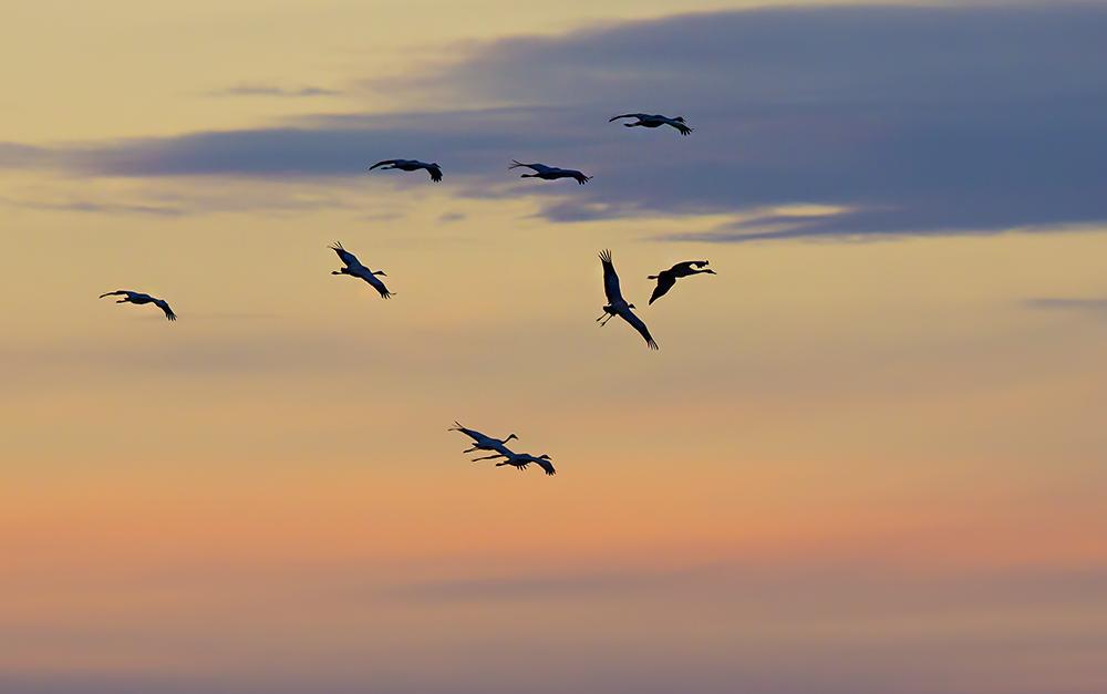 Tranor i flock flyger mot kvällshimlen. Foto.
